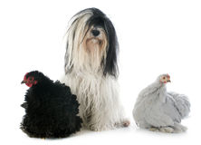 Tibetan terrier and chicken Royalty Free Stock Photos