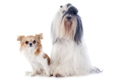 Tibetan terrier and chihuahua Stock Photo