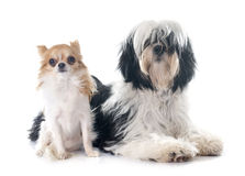 Tibetan terrier and chihuahua. In front of white background Royalty Free Stock Photography