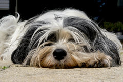 Tibetan Terrier close up. Resting on the ground Royalty Free Stock Photos