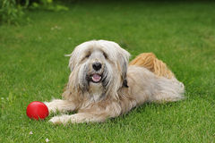 Tibetan Terrier dog Royalty Free Stock Photography