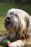 Tibetan Terrier Dog Stock Images