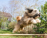 Tibetan Terrier Dog in Action. Agility for dogs - Tibetan terrier jumping over a hurdle Stock Image