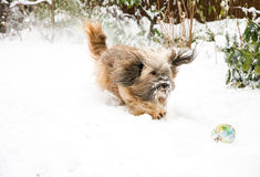 Tibetan Terrier Dog Catching Ball in Snow Stock Photos
