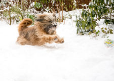Tibetan Terrier Dog Catching Ball in Snow Stock Images