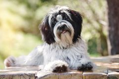 Tibetan terrier dog laying down on wooden planks with mouth open. Black and white Tibetan terrier or Tsang Apso, Dokhi Apso relaxing and enjoying his summer Royalty Free Stock Photos