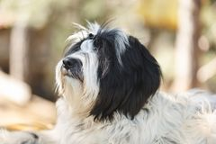 Tibetan terrier dog lying down and looking up towards its owner, close up. Tibetan terrier or Tsang apso, Dokhi apso dog lying down in forest and looking up royalty free stock photo