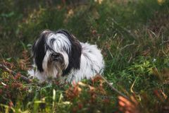 Tibetan Terrier dog lying among grass and flowers. Portrait of a beautiful young white and black Tibetan Terrier dog lying among grass and flowers on spring stock photos