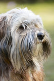Tibetan Terrier Dog Royalty Free Stock Image