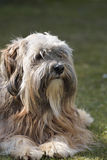 Tibetan Terrier Dog. Portrait of a tibetan terrier dog Royalty Free Stock Images