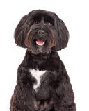 Tibetan Terrier Dog Portrait Royalty Free Stock Photography