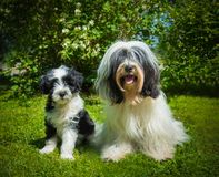 Tibetan Terrier dog and puppy. On nature Stock Photo
