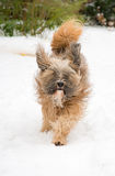 Tibetan terrier dog running and jumping in the snow. Royalty Free Stock Photography