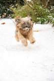 Tibetan terrier dog running and jumping in the snow. Royalty Free Stock Images