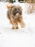 Tibetan terrier dog running and jumping in the snow. Royalty Free Stock Photo