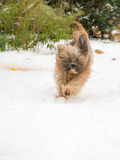 Tibetan terrier dog running and jumping in the snow. Stock Photography