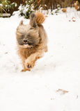 Tibetan terrier dog running and jumping in the snow. Royalty Free Stock Image