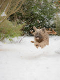 Tibetan terrier dog running and jumping in the snow. Purebred Tibetan terrier dog running and jumping in the snow Royalty Free Stock Photo
