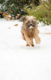 Tibetan terrier dog running and jumping in the snow. Stock Photo