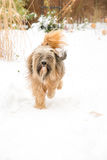 Tibetan terrier dog running in the snow. Purebred Tibetan terrier dog running in the snow Royalty Free Stock Image