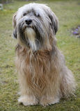 Tibetan Terrier Dog. Sitting in the grass Stock Photos