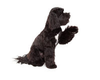 Tibetan Terrier Dog Sitting With Paw Shake Royalty Free Stock Photography