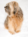 Tibetan terrier dog sitting in the snow. Long haired Tibetan terrier dog sitting in the snow Stock Photo