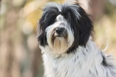 Tibetan terrier dog sitting the spring forest. And looking at camera.Nine months old puppy portrait, very shallow deep of field stock photo