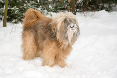 Tibetan Terrier Dog in the Snow Stock Photo