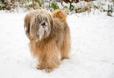 Tibetan Terrier Dog in the Snow Royalty Free Stock Images