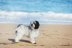 Tibetan terrier dog standing alone on sand at beach. 11 Month old puppy dog portrait, selective focus royalty free stock image