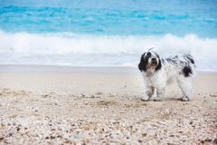 Tibetan terrier dog standing at the beach on the sand Stock Images