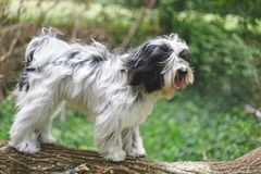 Tibetan terrier dog standing on fallen tree trunk in forest Stock Image