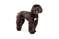 Tibetan Terrier Dog Standing Looking Forward Royalty Free Stock Images