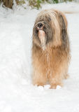 Tibetan terrier dog standing in the snow. Long haired Tibetan terrier dog standing in the snow Royalty Free Stock Image