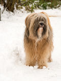 Tibetan terrier dog standing in the snow. Long haired Tibetan terrier dog standing in the snow Royalty Free Stock Photos