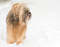 Tibetan terrier dog standing in the snow. Long haired Tibetan terrier dog standing in the snow Stock Images