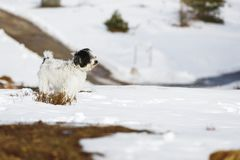 Tibetan terrier dog standing in the snow. Tibetan terrier white and black puppy standing in the snow. Very shallow depth of field, large copy space Royalty Free Stock Photography