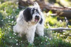 Tibetan terrier dog in the spring forest, selective focus. Tibetan terrier dog is standing on a sunny forest path in springtime. Very shallow deep of field, copy royalty free stock photos