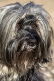 Tibetan Terrier eyes Royalty Free Stock Photography