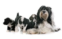 Tibetan terrier family. Family tibetan terrier in front of white background Royalty Free Stock Images