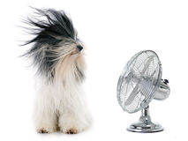 Tibetan terrier and fan. In front of white background Royalty Free Stock Photo