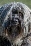 Tibetan Terrier front Royalty Free Stock Photo