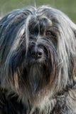 Tibetan Terrier front Royalty Free Stock Photo