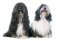 Tibetan terrier. In front of white background Stock Photography