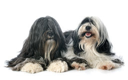 Tibetan terrier. In front of white background Stock Images