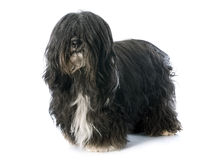 Tibetan terrier. In front of white background Stock Photo