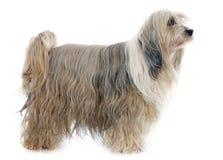 Tibetan terrier Royalty Free Stock Photos