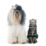 Tibetan terrier and kitten Royalty Free Stock Photos