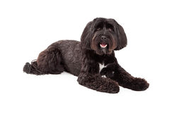 Tibetan Terrier Laying and Looking at the Camera. Royalty Free Stock Photos